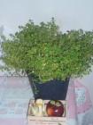 昨天買了歐洲百里香和本地迷迭香回家, 兩種香草都勁香!!!