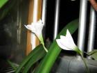 白花風雨蘭