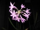 白肋朱頂蘭 & 紫蔥花 from 敏敏
