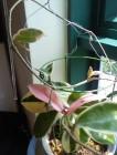 2011新的一顆球蘭的萌芽和成長