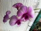 石斛蘭(09年7月買的)