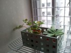 Aeschynanthus(苦苣苔科)