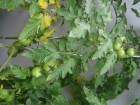廚餘種蕃茄
