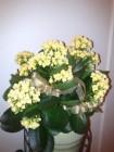 新年前買的家樂花, 廿蚊盆, 現在開得好燦爛呀!