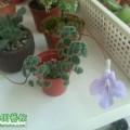 其它苦苣苔科