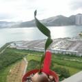 捲葉垂筒花 Cyrtanthus spiralis