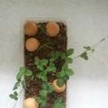 蛇莓初長成の初種