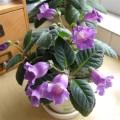 紫花側岩桐