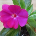 新畿內亞 鳳仙花
