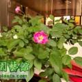月月粉 Parsons' Pink China (Fr N-Blythe)