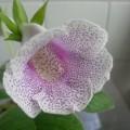 紫麻子大岩桐 share from rockyyip2002