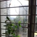第一次種毬蘭