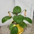 Sinningia eumorpha x sp. florianopolis
