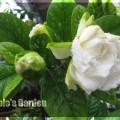 梔子花=白蟬