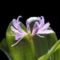 第一次種藍晶花