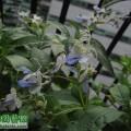 藍蝴蝶扦插成功