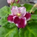公司種的紫羅蘭