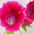 非洲紫羅蘭及苦苣苔科植物