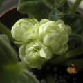Spring Rose - exchanged with AppleYan