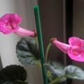 Unknown sinn. (may be Sinn. Fuchsia Treasure) - fr