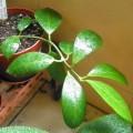 毬蘭(Hoya obscura) - from fnv234 (22/11)