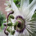 passion flower (climbing collection)