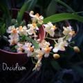 毬蘭及其他蘭花