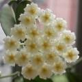 毬蘭 (Hoya lacunosa?) - from claudiatang (30/9/201 .