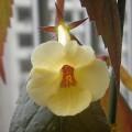 A. Yellow Beauty