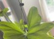 最近發現葉上面有好多黑色嘅好似蟲嘅野,求教可以點解決