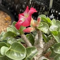 羊角沙漠玫瑰終於開花了5/5/2021-11/5/2021