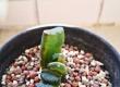 赤富士玉扇錦 葉插苗