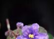 Blueberry Puff