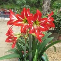 勁辣辣椒﹑湖南油研辣椒﹑向日葵﹑紅色朱頂蘭種子