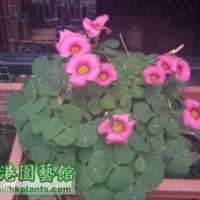 分享Oxalis Purpurea Deep Rose <完>