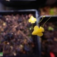 開花中的狸藻