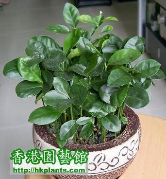 柚子.jpg