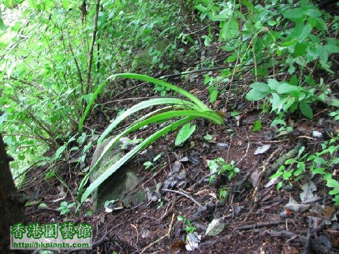 圖 09-密林深處發現紅鳥朱頂蘭.JPG