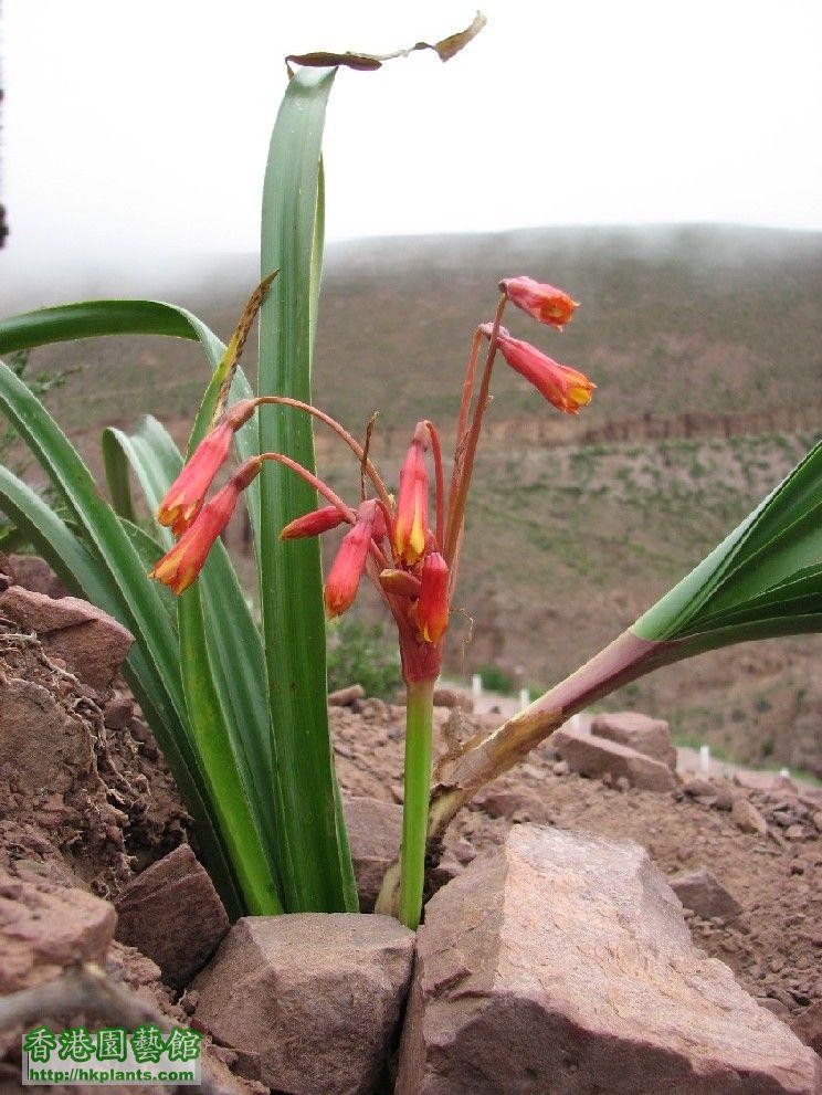 圖 43-紅花狐蔥正在開花.JPG