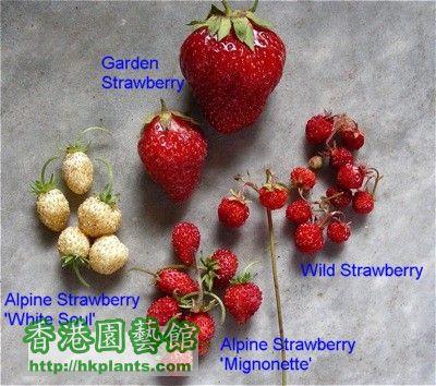 strawberry-sizes.jpg