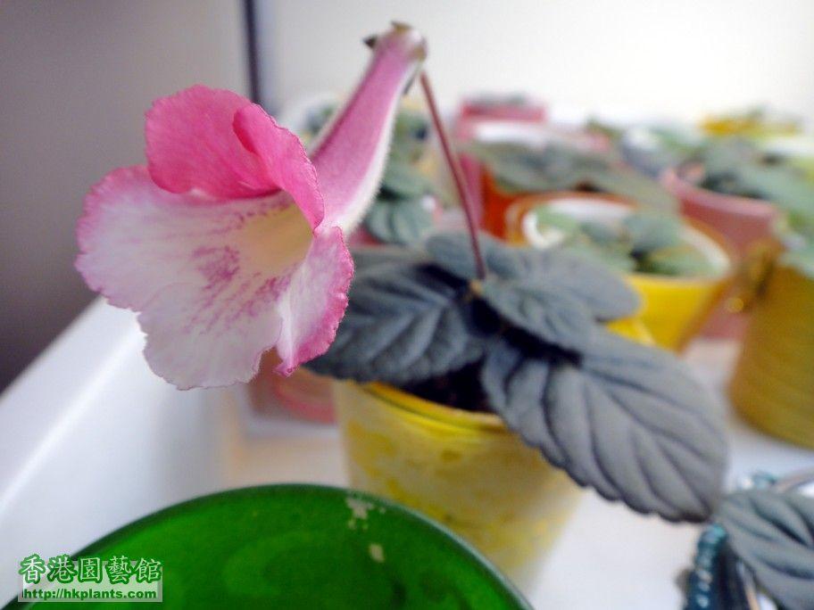S. Pirate\'s Spanish Rose-f.jpg