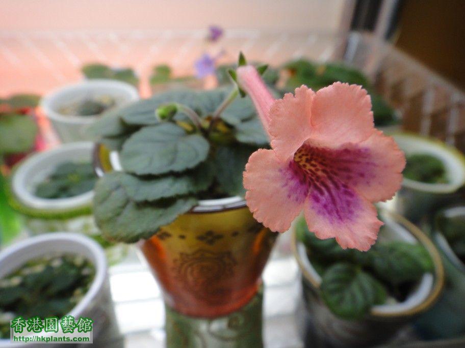 S. Nora\'s Orange Blossom-i.jpg