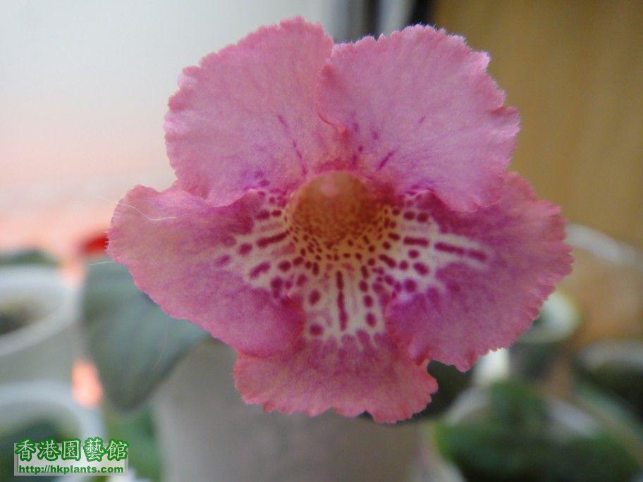S. Ozark Pink Sunrise-a.jpg