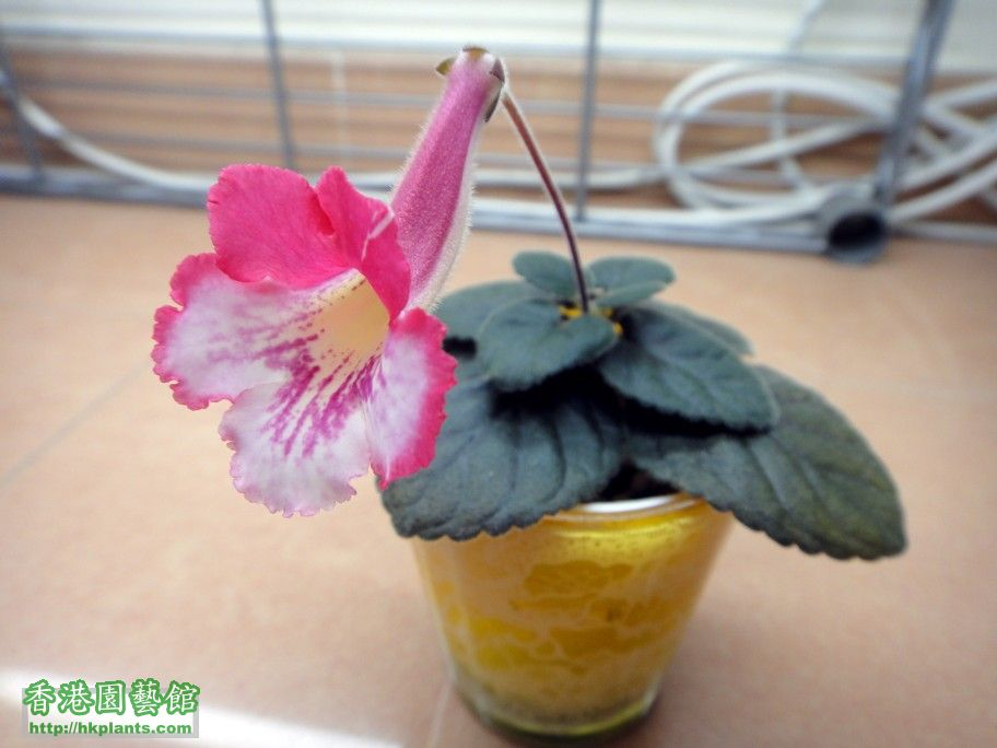 S. Pirate\'s Spanish Rose-h.jpg