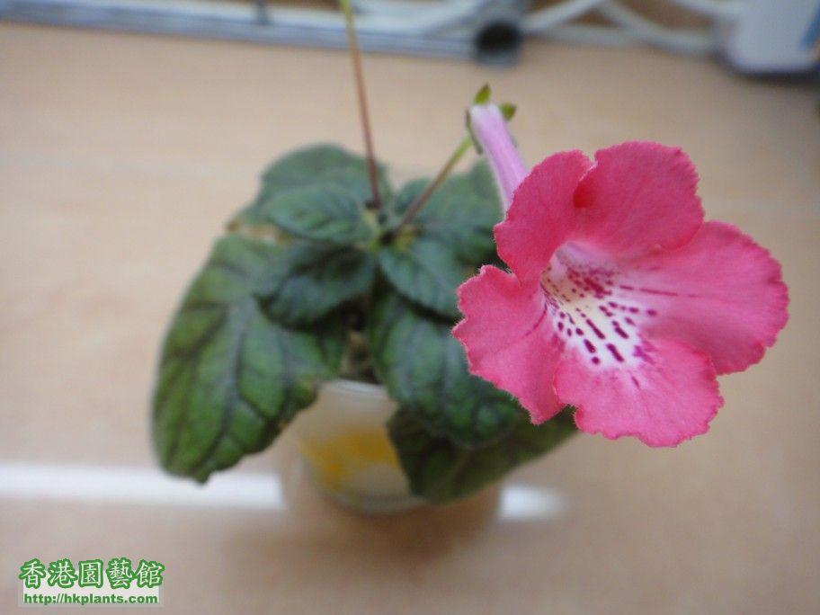 S. Nora\'s Cheerful Rose -b 20 Apr 2012.jpg