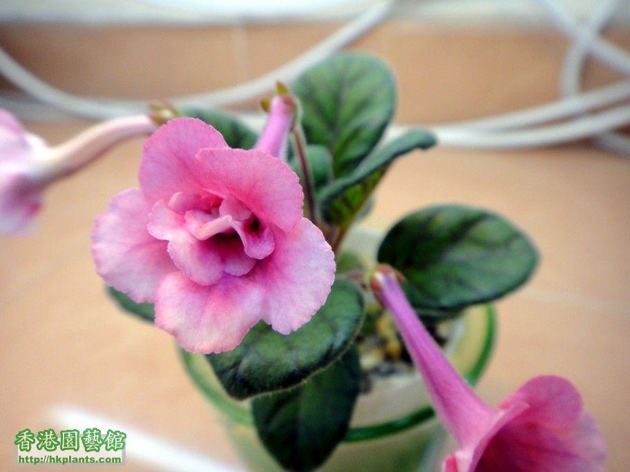 S. BJ\'s Peppermint Swirl -c 4 Jun 2012.jpg