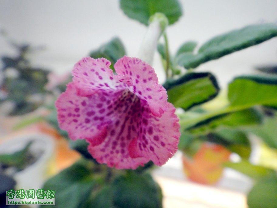 S. Jo\\\'s Shining Ruby -b 05 July 2012.jpg