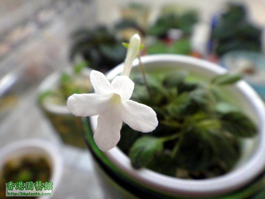 S. White Sprite -c 31 May 2012.jpg
