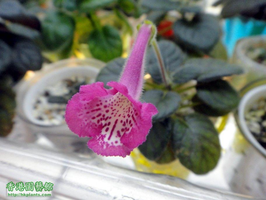 S. Tai Pink -b 2 Sept 2012.jpg