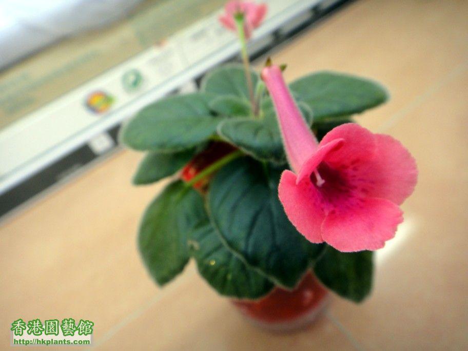 S. KC\\\'s Rose Peach -c 17 Sept 2012.jpg